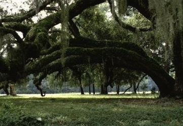 "Twenty ""Grand Trees,"" such as live oaks, black gums, and southern oaks could be on the chopping block"
