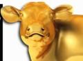 westie cow